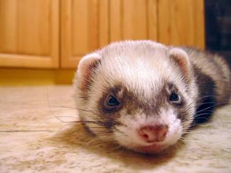 Ferret - my pet.