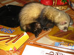 Ferret. Sweet tooth.