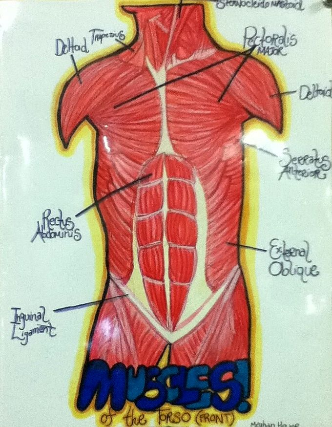 Diagram Of Muscles Of Human Torso By Invadermeghan On Deviantart