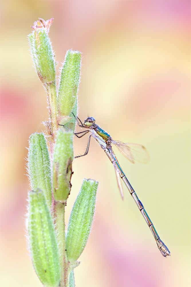 Damselfly by bua89