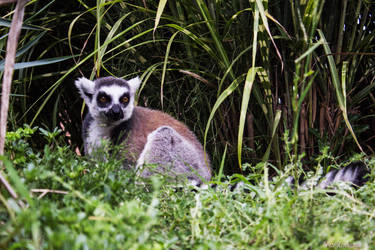 Lemur by Pinkodama
