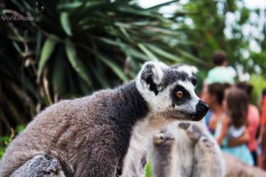 Lemur's thoot by Pinkodama