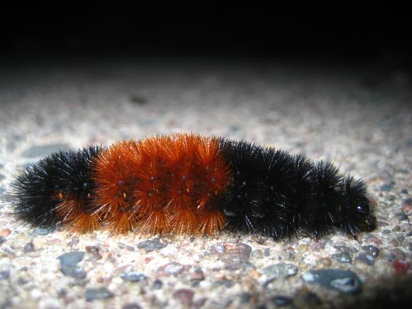 Kittypillar by TheWhiteRose-Ninja