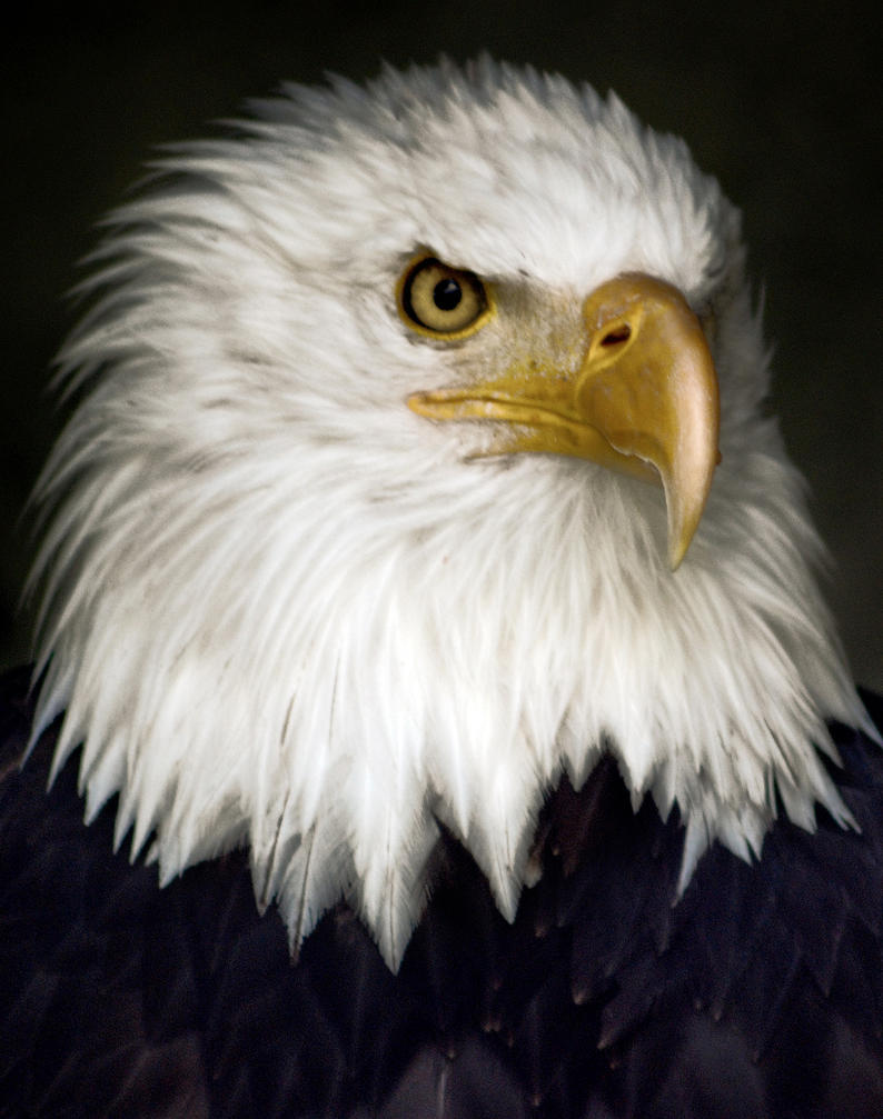 bald eagle by CaveCanem42