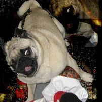 Crazy Pug...