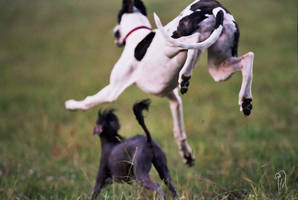 flying greyhound by geetha75