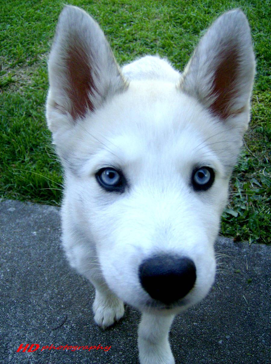 Husky timber wolf puppies - photo#16