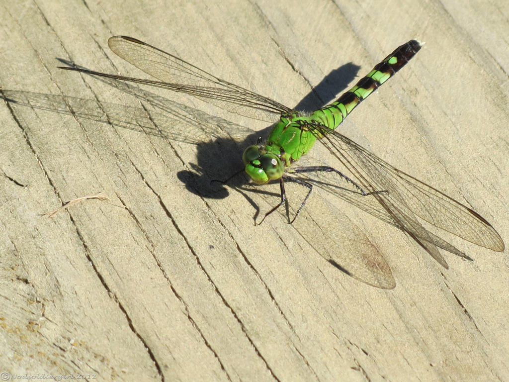 Green dragonfly pictures - photo#53