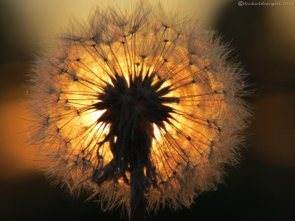 dandelion sunset related keywords -#main