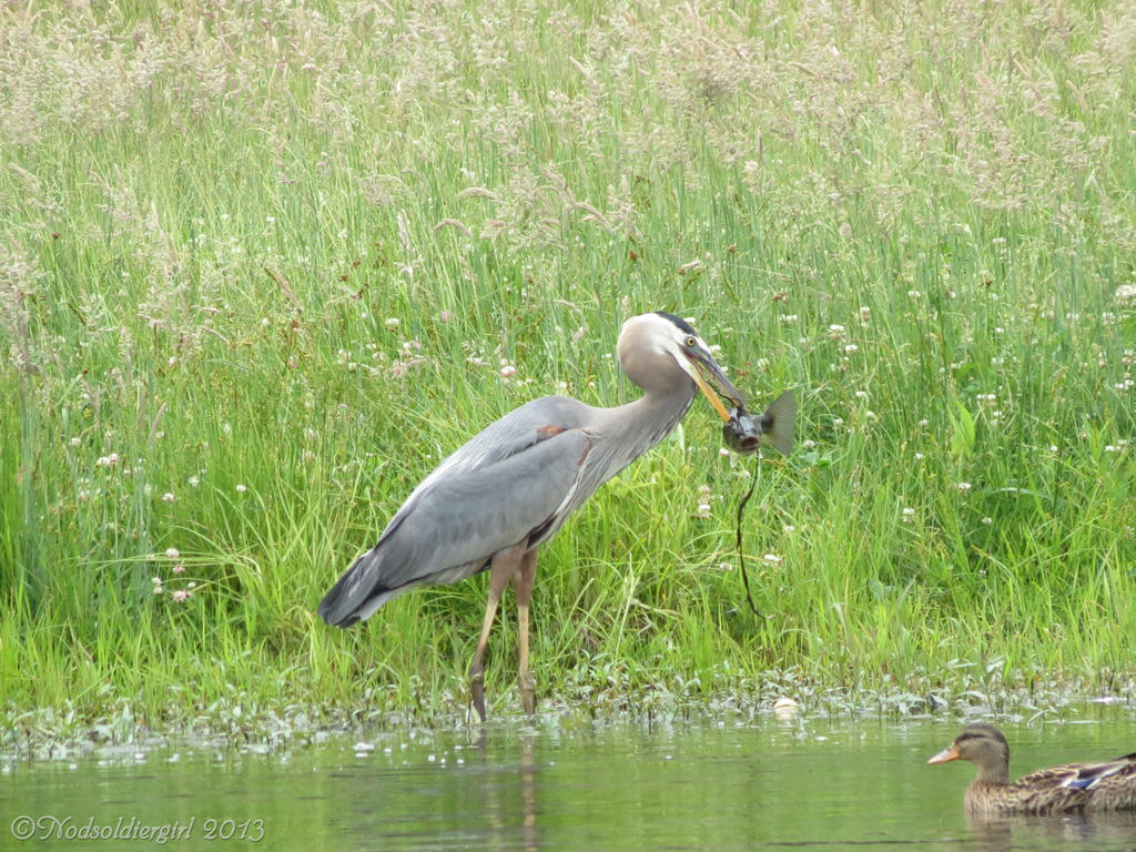 Blue Heron with Fish 3
