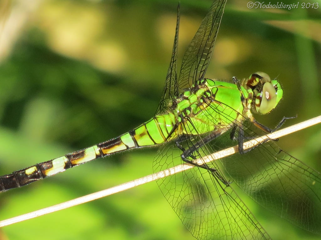 Green dragonfly pictures - photo#40