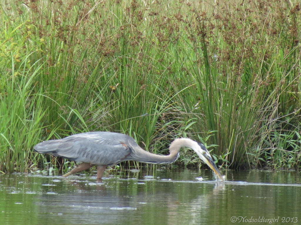 Blue heron fishing by nodsoldiergirl on deviantart for Blue heron fishing