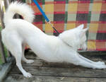 Siberian Husky Bow