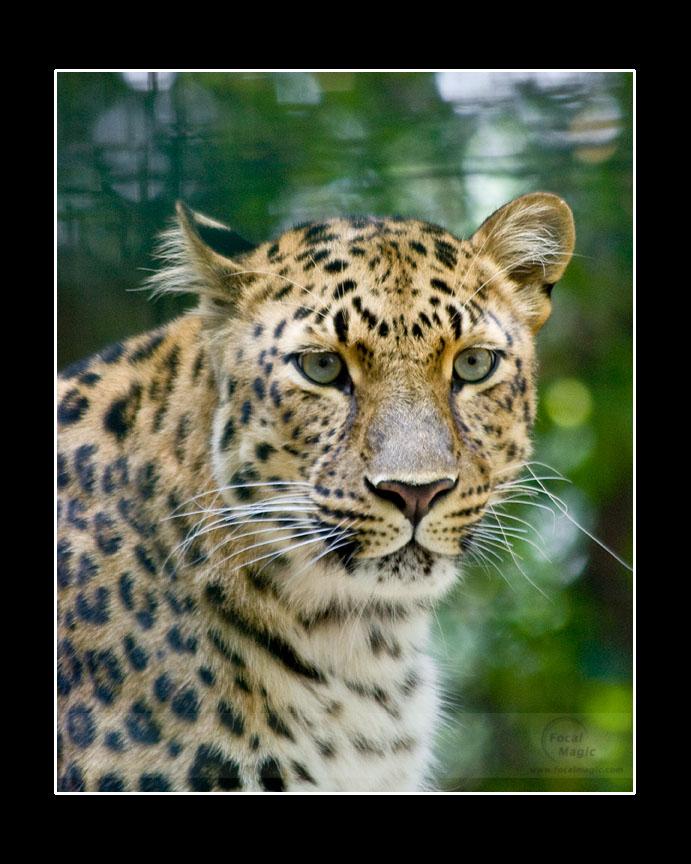 Leopard by NicoleSlaughter