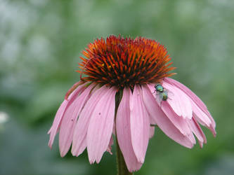 fly on a flower by dorrytoe