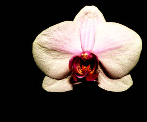 Yet another orchid by Kalasis
