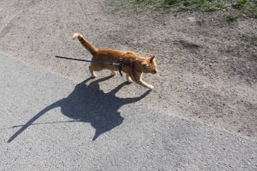 walking a cat on a leash