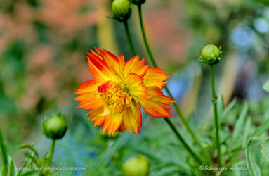 beautiful Flower by SeventhFairy