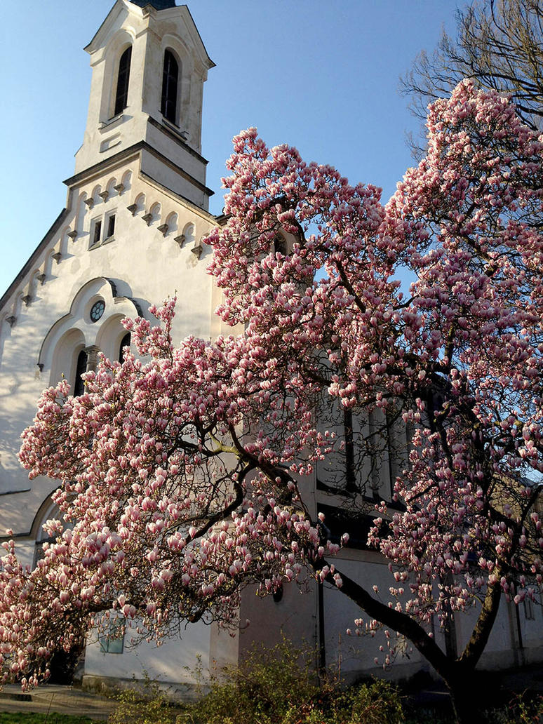 Magnolia near church by kafik