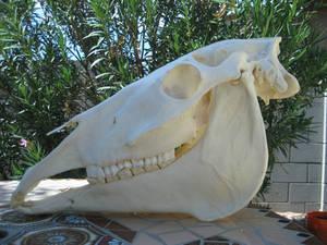 Molly the horse skull