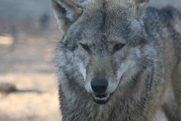 Wolf face stock 5 by RaeyenIrael-Stock