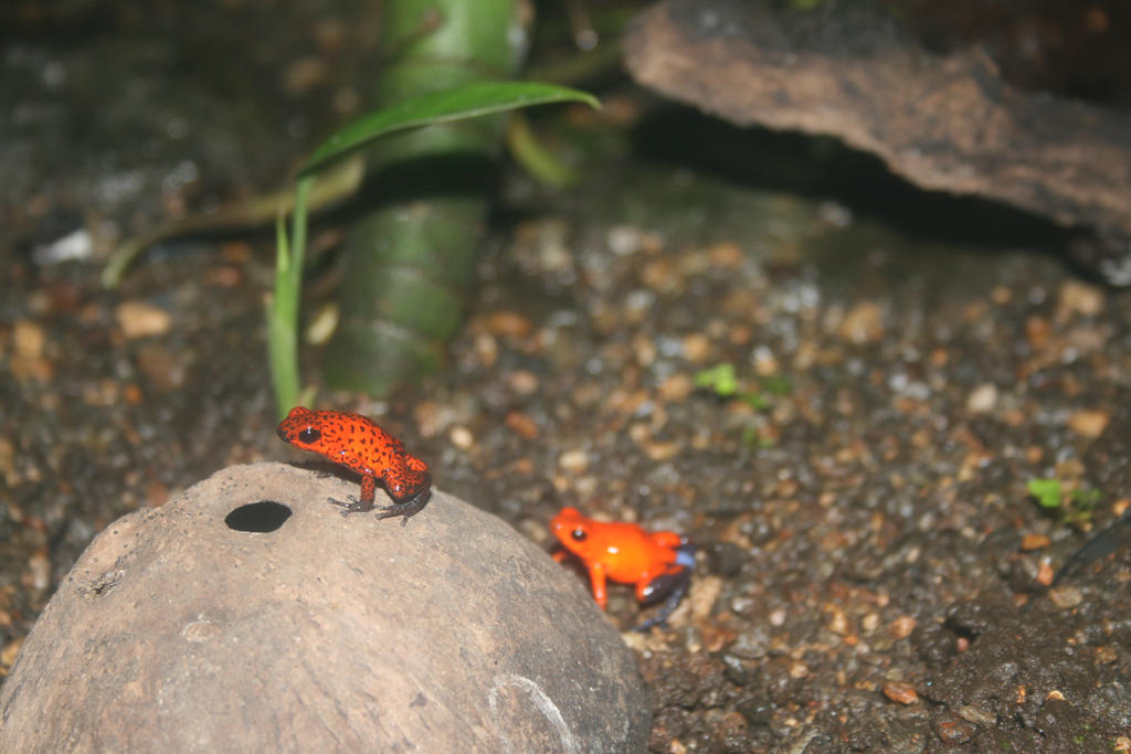 Poison Dart Frogs by RaeyenIrael-Stock