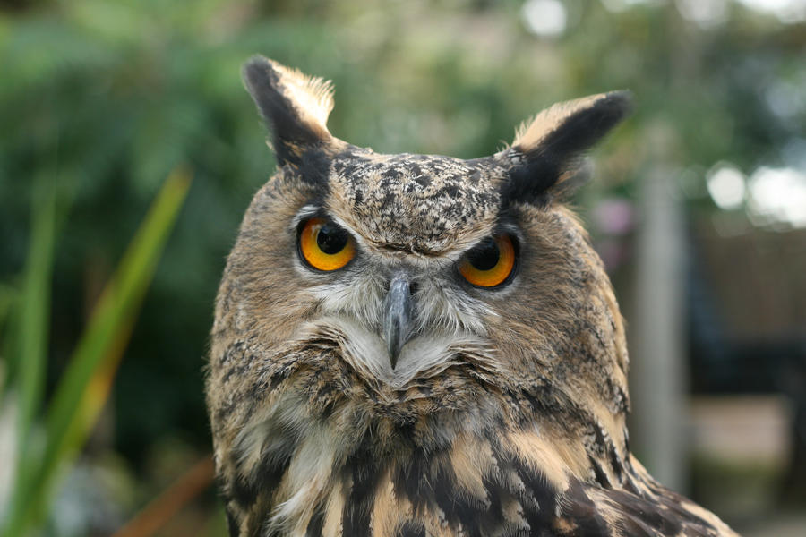 Rambo the Eagle Owl 3.0 by RaeyenIrael-Stock