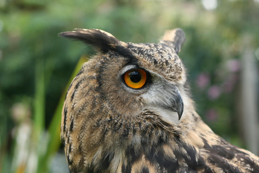 Rambo the Eagle Owl 4.0 by RaeyenIrael-Stock