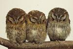 Owls in Japan