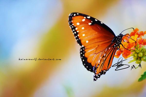 Butterfly III by Kaiwerewolf
