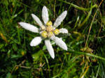 Edelweiss by b4bylon69
