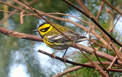 Male Townsend's Warbler 3 by WagmoreBarkless