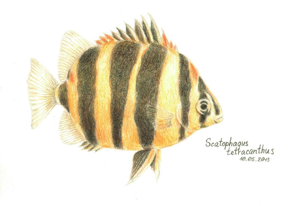 Scatophagus tetracanthus by rana-kenobi
