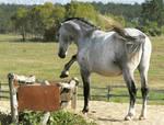 Lipizzaner Stallion - Stock 6