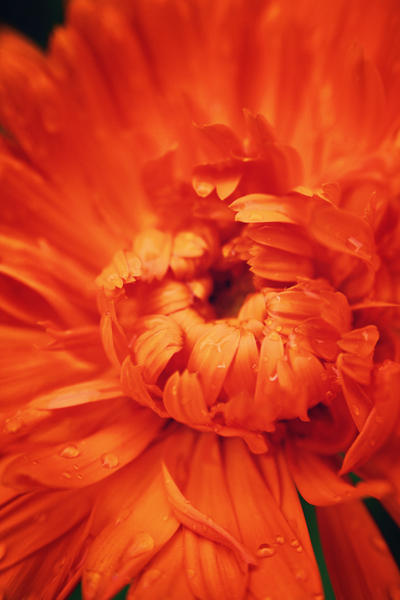 Calendula by ashleyDcrouse