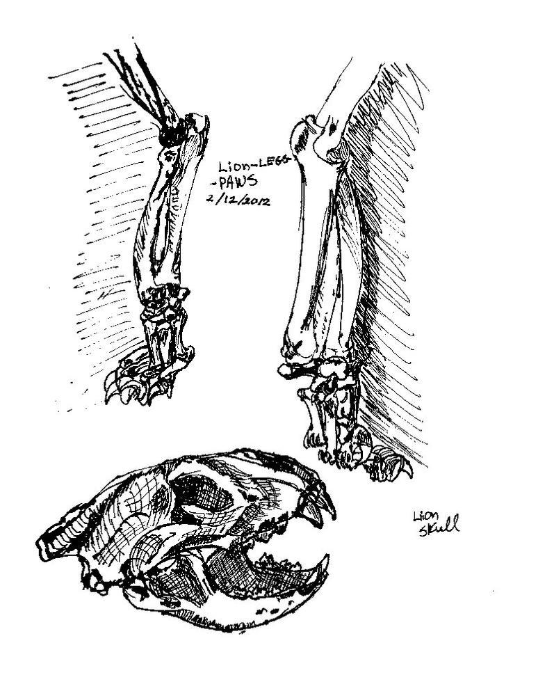 Lion Anatomy Study 1 by DrazziElder on DeviantArt