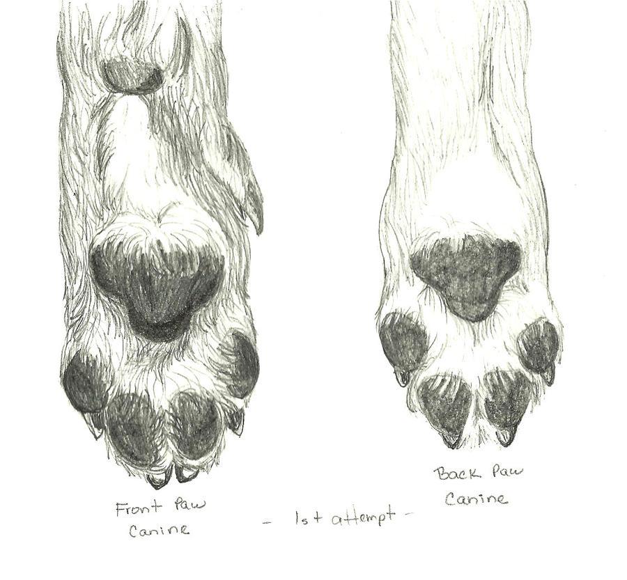 canine paw study 1 by drazzielder on deviantart