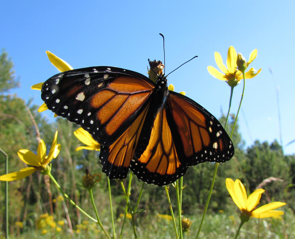 Monarch Fan by Caitybee