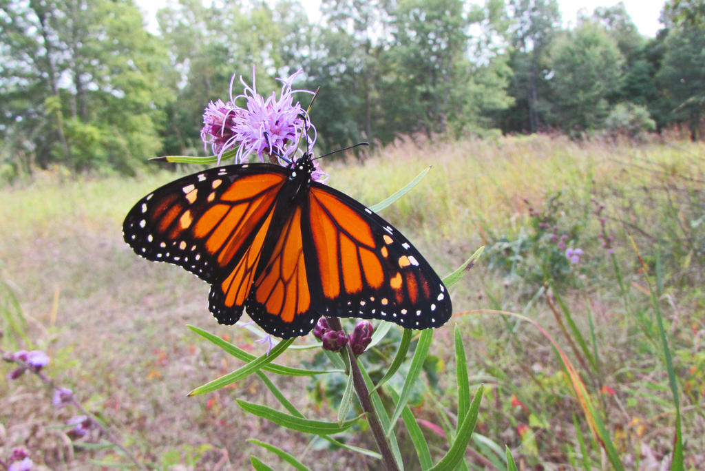 First Male Monarch 2017 by Caitybee