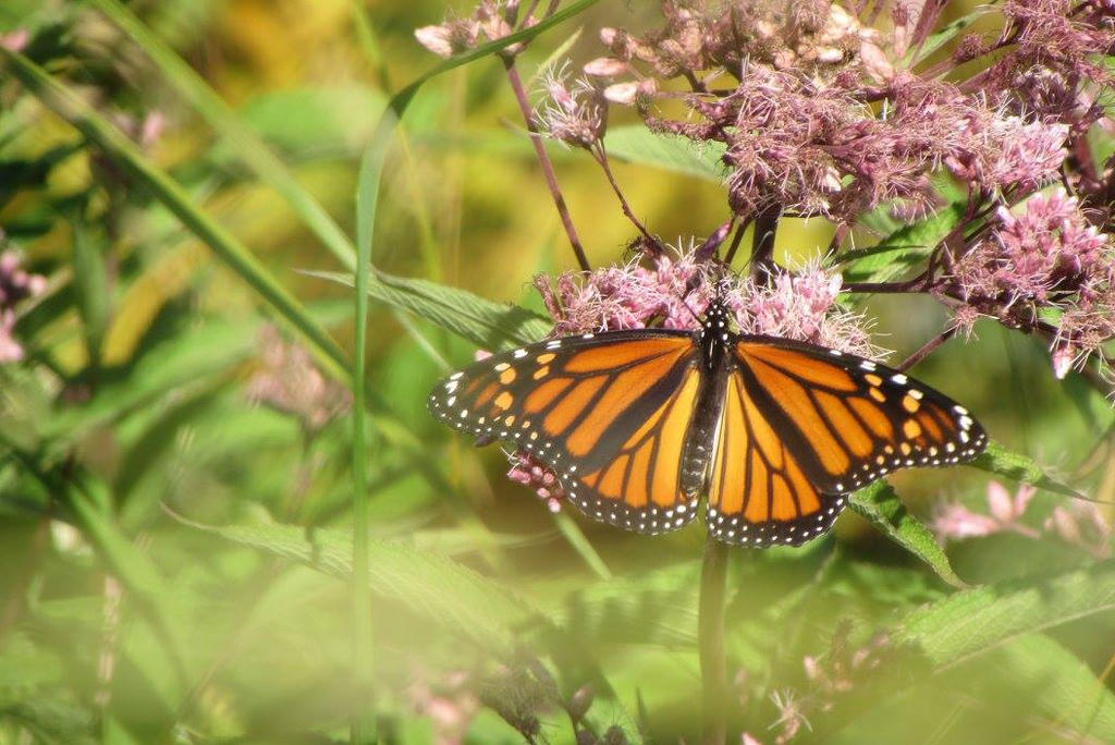 Monarch Watching by Caitybee