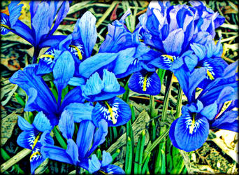 Painted Irises by frelanz