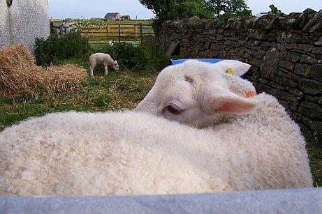 SheepSlave's Profile Picture