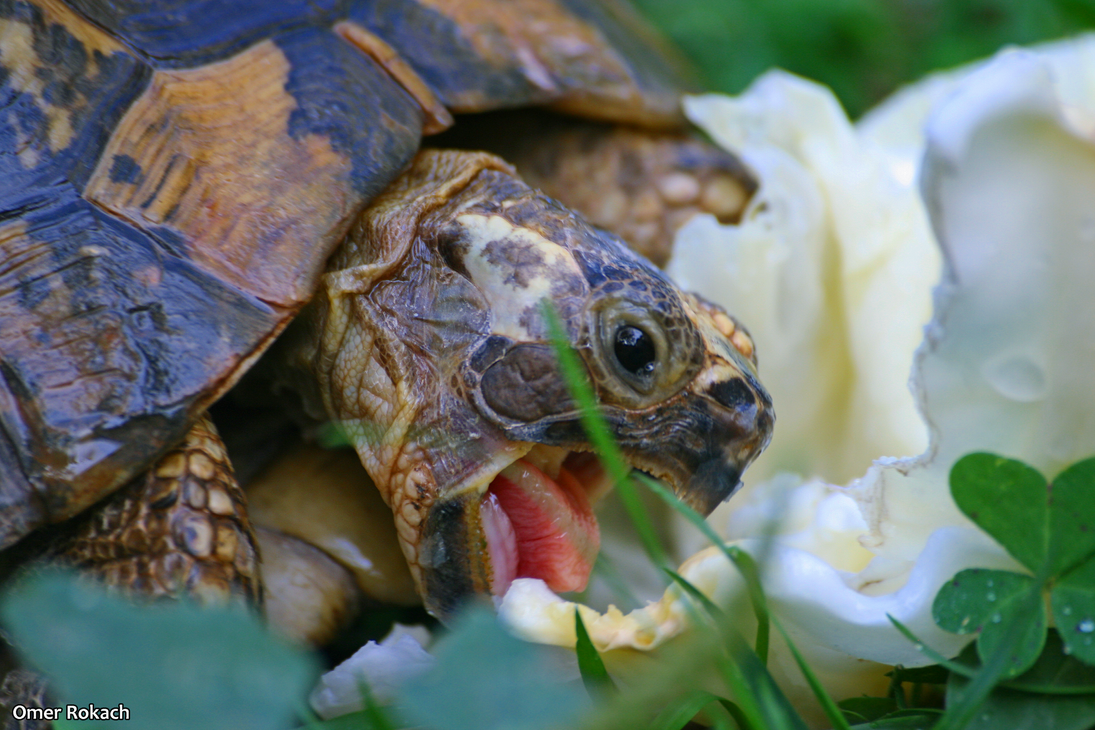 Turtle by omerroki