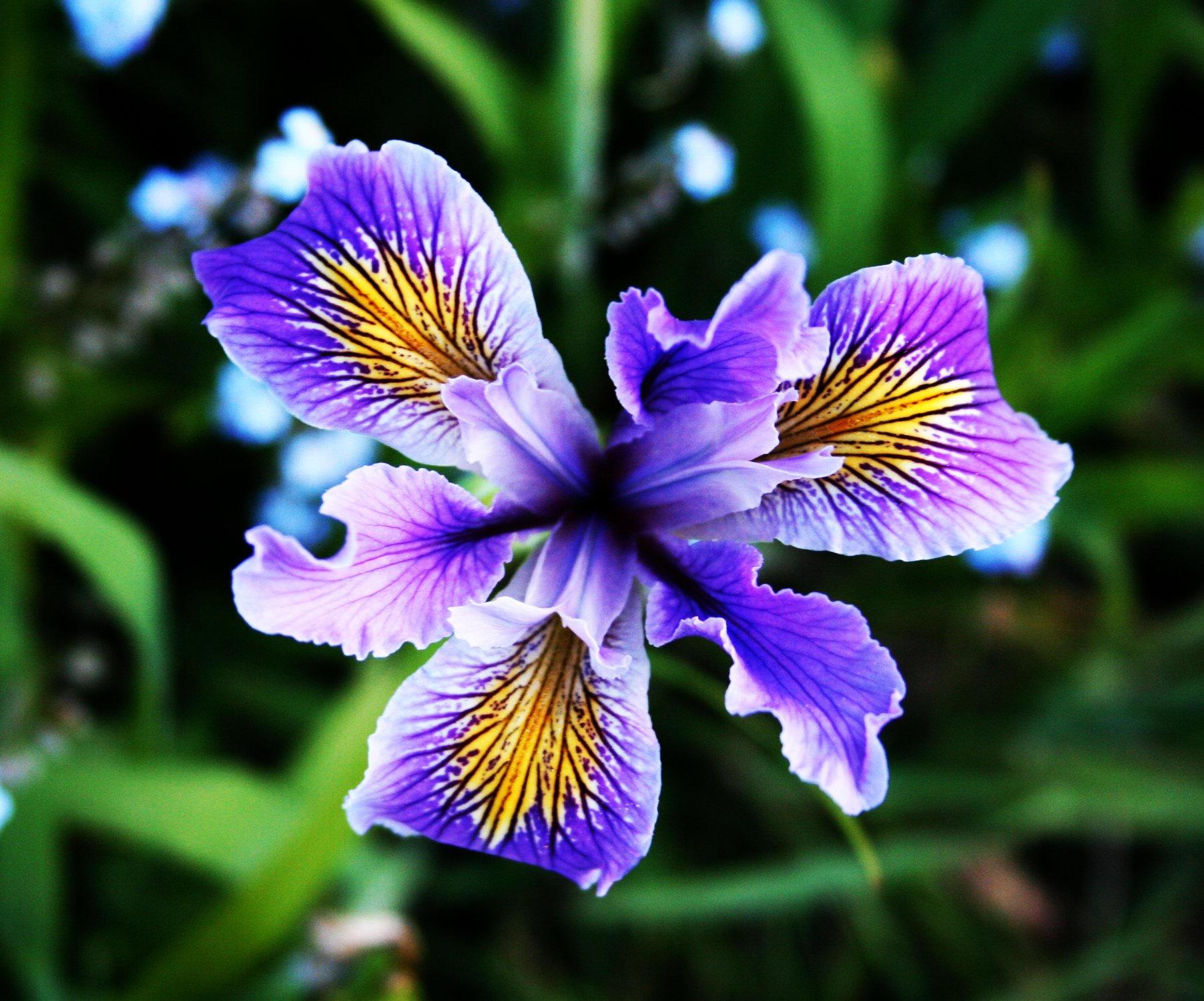 blue iris by keropy blue iris by keropy
