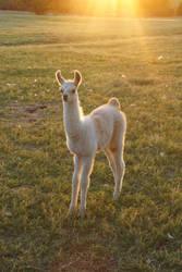 The Chosen Llama