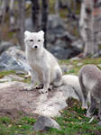 Arctic fox stock 4