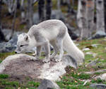 Arctic fox stock 5