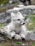 Arctic fox stock 6