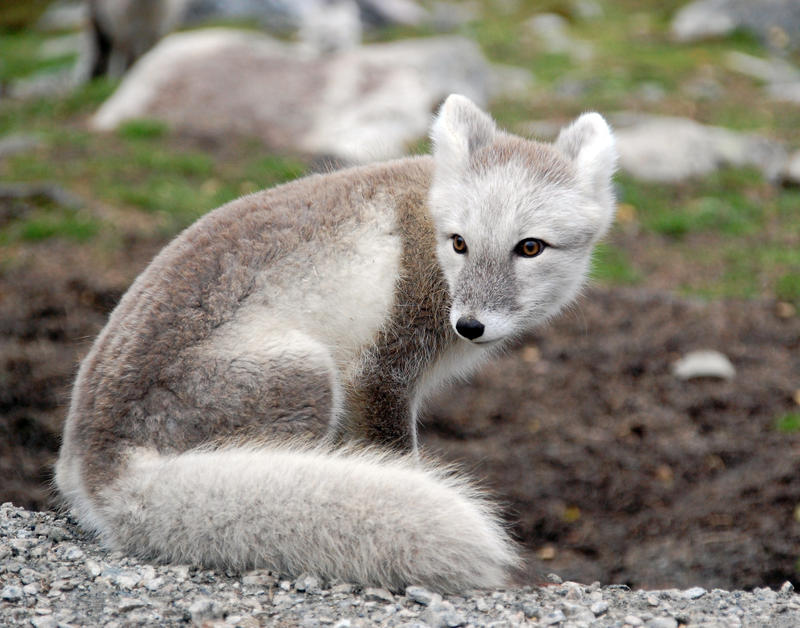Simple Arctic Fox Stock 7 By GrayeyesStock On DeviantArt