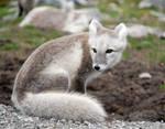 Arctic fox stock 7